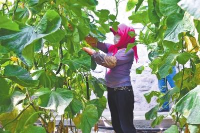 酒泉市肃州区:农户打理黄瓜枝条(图)