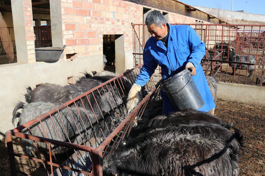 """庆阳环县:肉羊产业促发展 鼓足农民""""钱袋子""""(组图)"""
