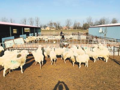 """庆阳宁县着力打造""""宁州肉羊""""优势品牌 持续推进全新养殖模式(图)"""