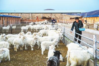 庆阳市华池县不断培育壮大羊产业 助推县域经济发展