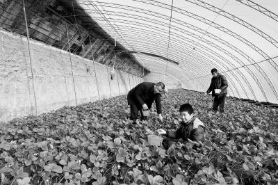 游客在白银靖远县东湾镇现代农业示范园区采摘草莓(图)