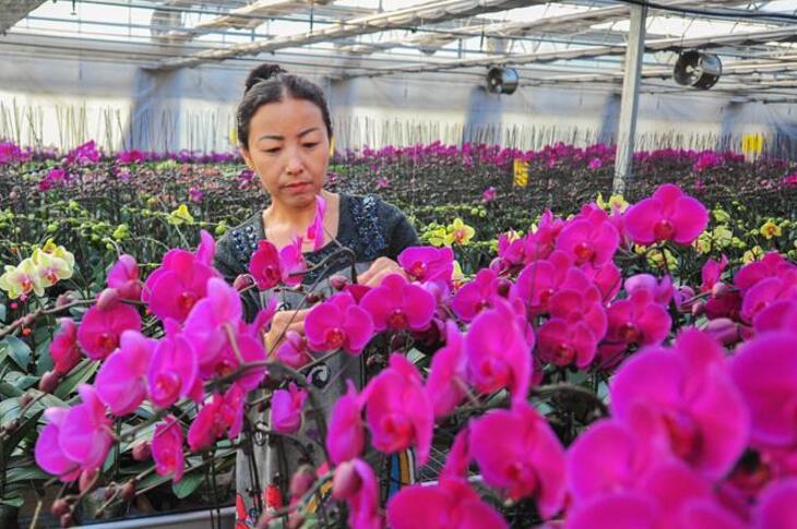 内蒙古包头:花卉大棚种出致富路