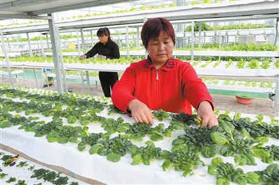 甘肃临夏农业科技园区:工作人员管理立体栽培蔬菜