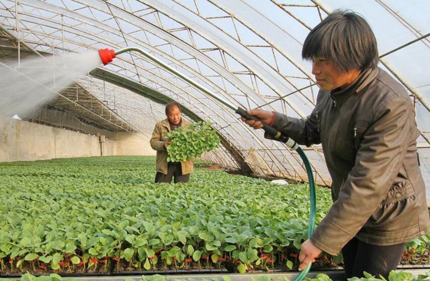 河北曲周:专业化育苗促增收