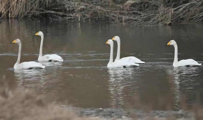 张掖临泽:黑河湿地成候鸟天堂