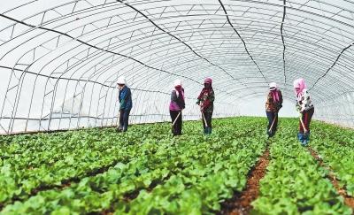 张掖市甘州区乌江镇温室蔬菜种植户进行田间日常管理