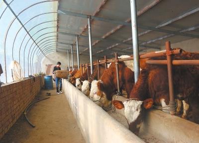 白银会宁:肉牛养殖成为当地群众增收的主导产业