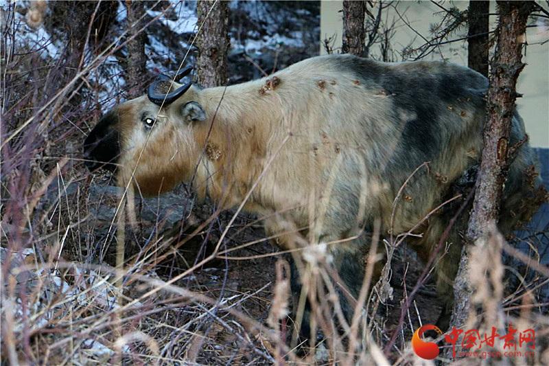 甘肃阿夏自然保护区发现国家一级保护动物——羚牛(图)