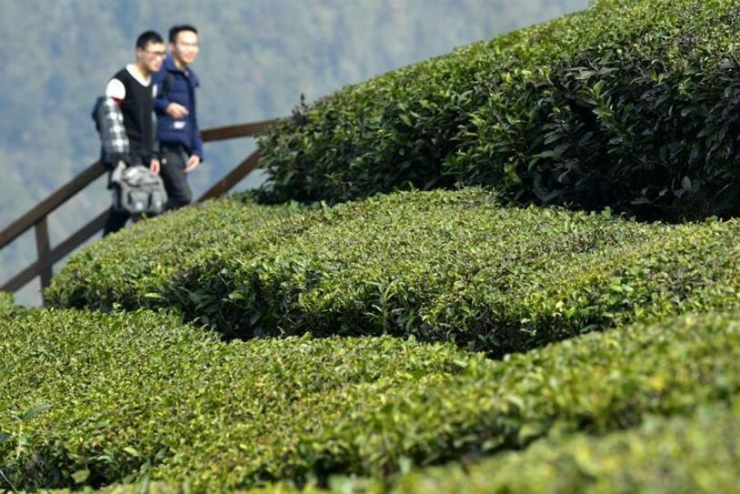 湖北宣恩:新春踏青赏茶