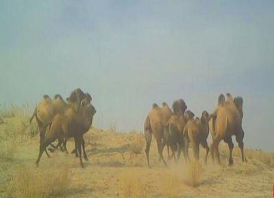 敦煌西湖国家级自然保护区首次发现大群野骆驼