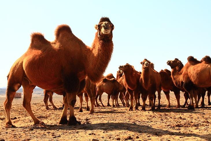 敦煌西湖自然保护区首现野骆驼大种群
