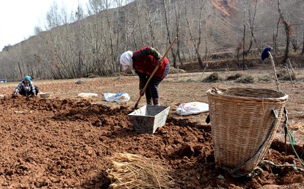 陇西县:在春天里收获