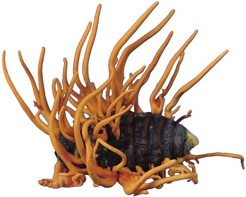 研究显示:冬虫夏草不能合成抗癌药物喷司他丁