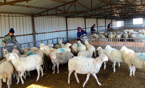 庆阳宁县:羊产业助力脱贫致富