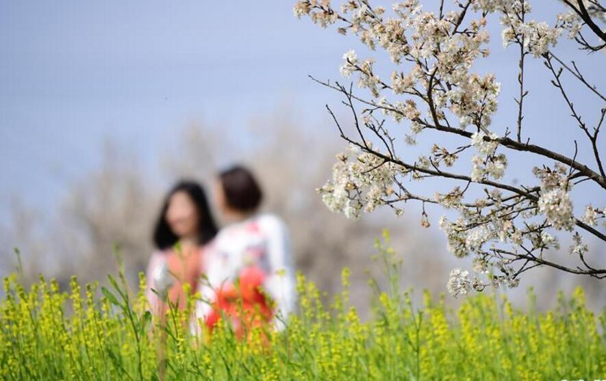 樱桃花开段家河