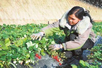 戈壁农业成为酒泉市肃州区现代农业的新名片(图)