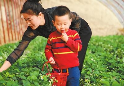 市民到敦煌市月牙泉镇现代采摘基地采摘草莓