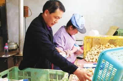 兰州七里河:村里小伙的致富榜样——八零后康明兴精心务劳百合二十年奔小康(图)