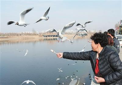 临夏州:大批红嘴鸥来黄河刘家峡段栖息