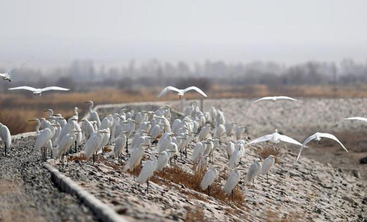 黑河湿地水鸟翔集
