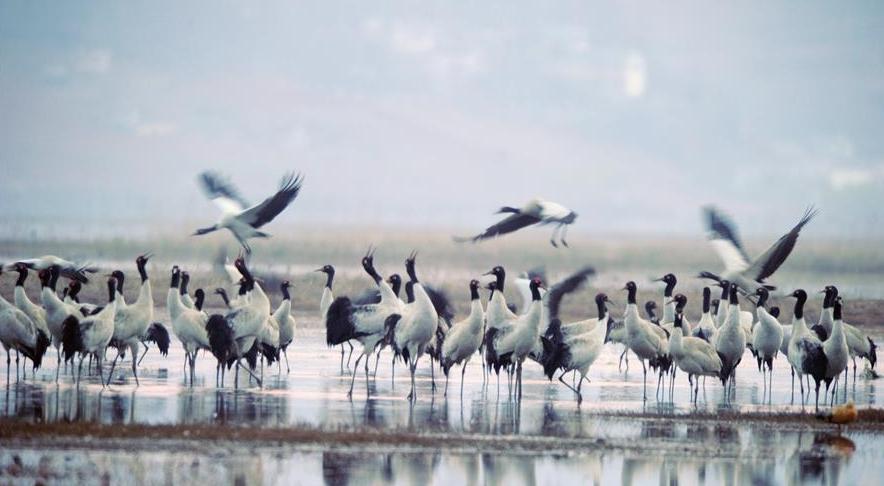 候鸟在贵州草海度过冬天陆续北迁