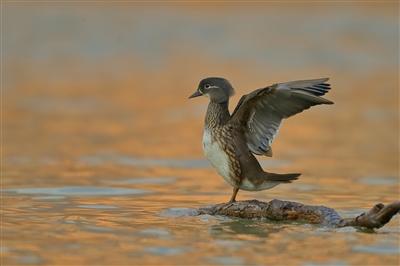 河畔青草萋 水鸟翩跹舞——生态好了,兰州候鸟多了!
