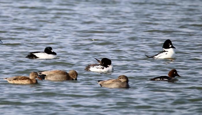 张掖国家湿地公园首次发现红头潜鸭等水鸟