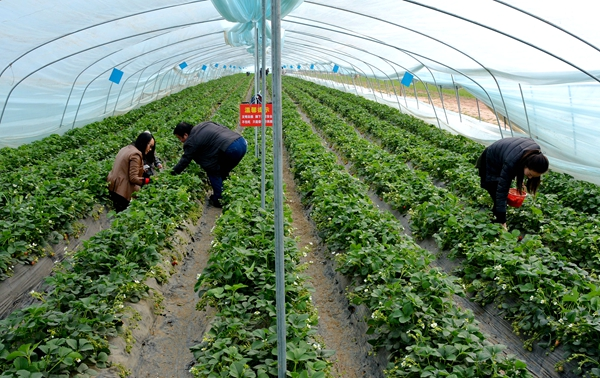 陇南礼县:特色产业助力精准脱贫