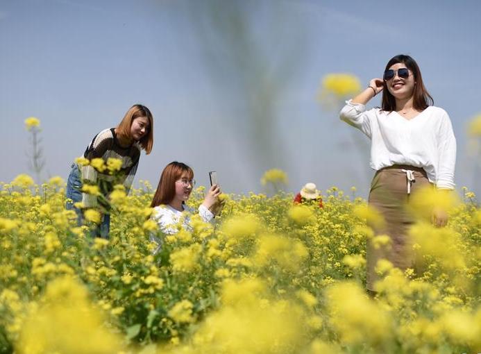 河北安平:油菜花开 乐游乡村