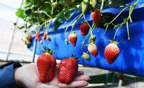 甘肃山丹戈壁荒滩变草莓采摘园