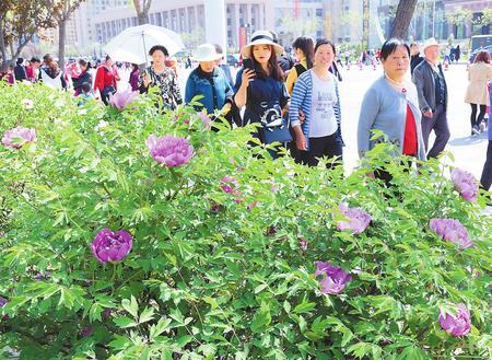 牡丹盛开醉游人 ——2018河州牡丹文化月开幕首日见闻