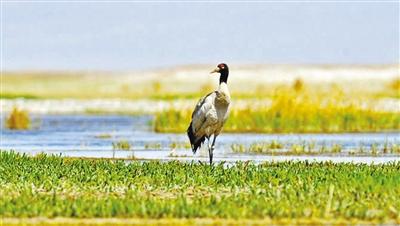 敦煌阳关国家级自然保护区首次迎来国家I级重点保护鸟类黑颈鹤