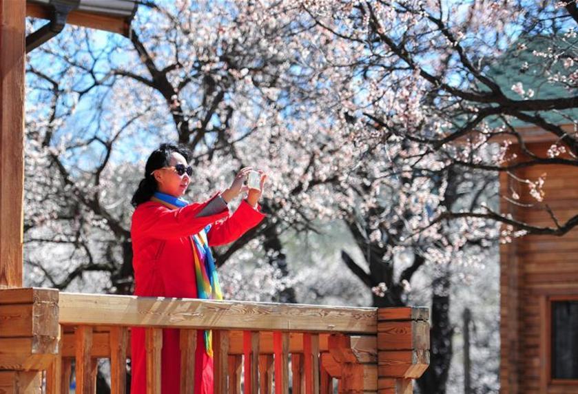 春暖山杏花开