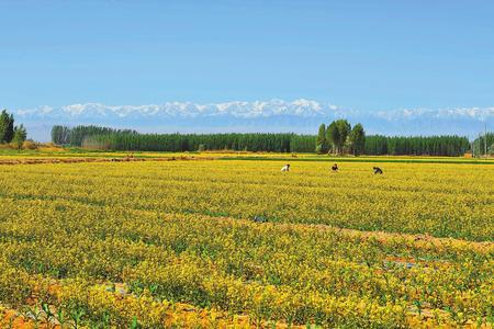 张掖市高台县宣化镇盛开的油菜花在雪山的映衬下显得分外美丽