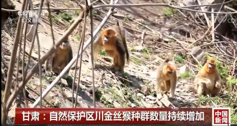 [中国旧事]ca88亚洲城文娱手机:天然维护区川金丝猴种群数目继续添加