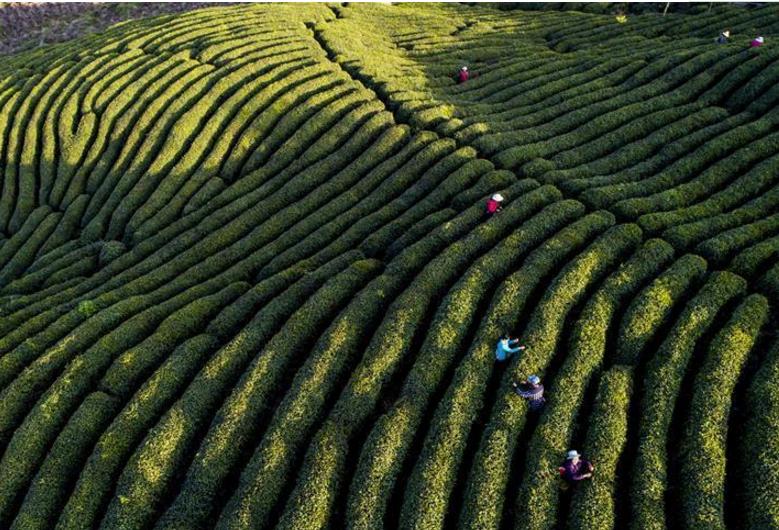 """陕西勉县:让茶叶成为群众致富的""""黄金叶"""""""