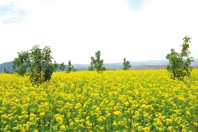 兰州皋兰山打造千亩油菜花海预计今年9月中旬完成