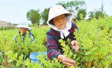 黄土地上的致富花——定西市通渭县产业扶贫工作侧记