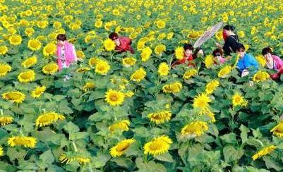 徐州微山湖畔向日葵花海绚烂绽放引万千游人