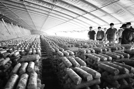 武威市天祝县大力发展食用菌产业