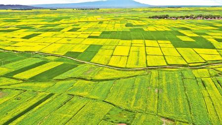 """航拍张掖民乐县十万亩油菜花绽放,大地如铺金色""""地毯"""""""