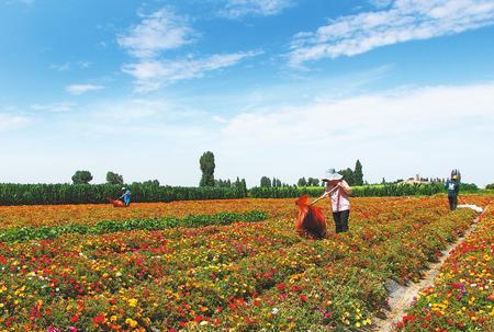 张掖市高台县合黎镇调整农业生产结构 进一步拓宽群众增收渠道