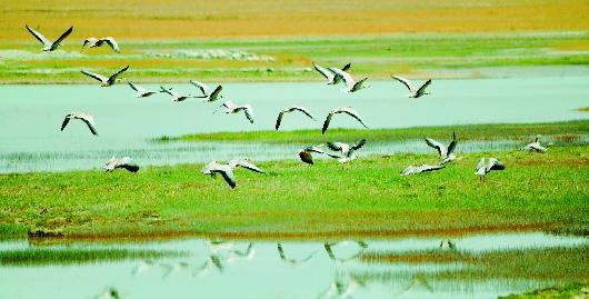 酒泉阿克塞县海子草原湿地候鸟迎来孵化期(图)