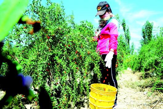 酒泉瓜州县双塔镇大力培育发展特色高效产业(图)