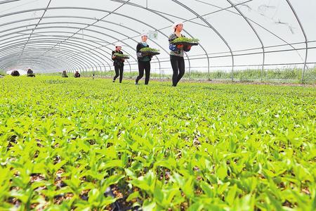 张掖市山丹县位奇镇农民在大棚内移植蔬菜苗