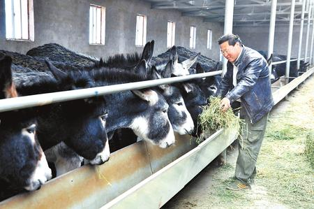 铜城兴起新产业——白银市培育发展黑毛驴特色养殖业纪实