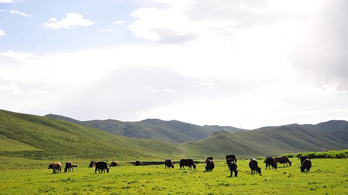 甘南合作:用牦牛和草场入股 合作社让牧民摇身变股东