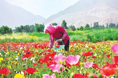 酒泉市肃州区金佛寺镇调整产业结构 引进花卉制种产业