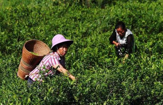 重庆黔江:藤蔓长成致富茶