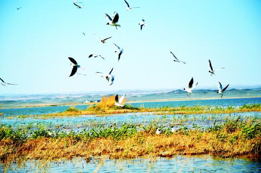 酒泉金塔县北海子湿地公园群鸟纷飞(图)